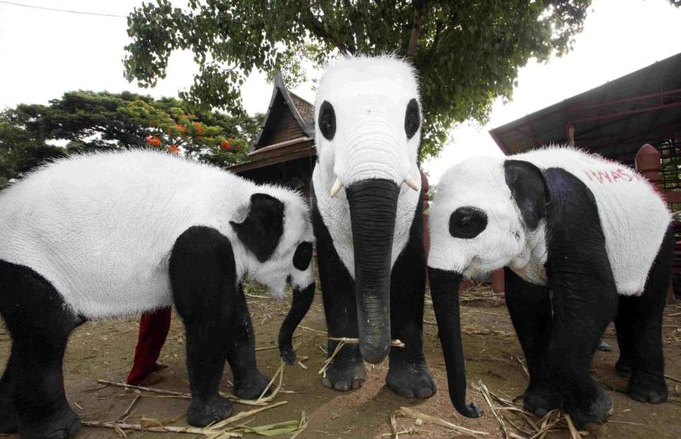Elephants painted like pandas